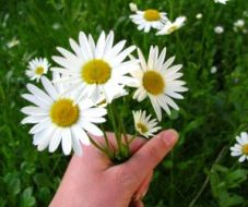 298345_bunch_of_daisies